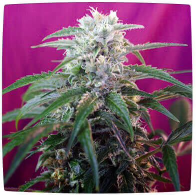 Green Poison Auto Feminized