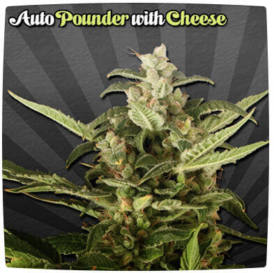 Auto Pounder with Cheese