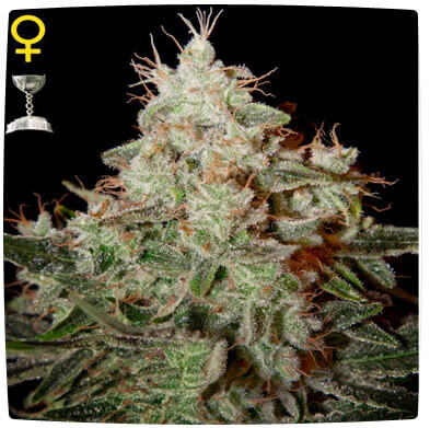 Lemon Skunk Feminised