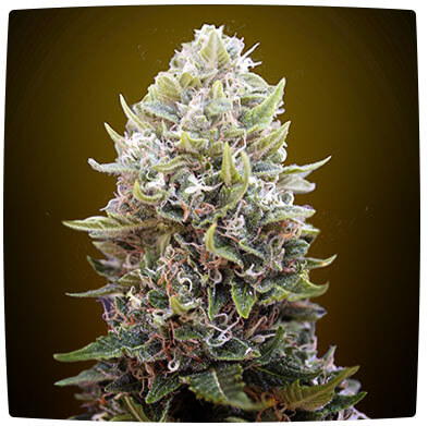 Auto Cheese Berry