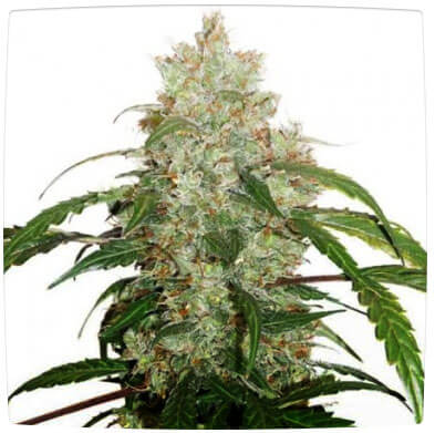 White Widow Spain Feminised