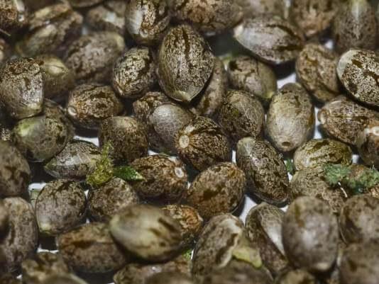насіння канабісу