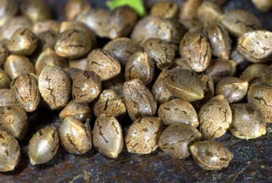 Кто то заказывал семена конопли по интернету ростим коноплю дома