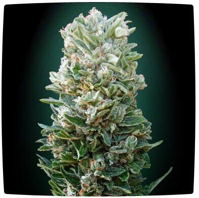 Auto Heavy Bud Feminised