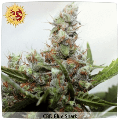 Auto CBD Blue Shark Fem